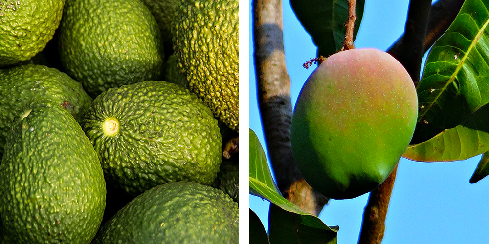 Avocadoes And Mango in tree