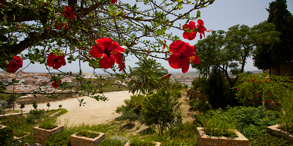Red flowers on tree Velez malaga