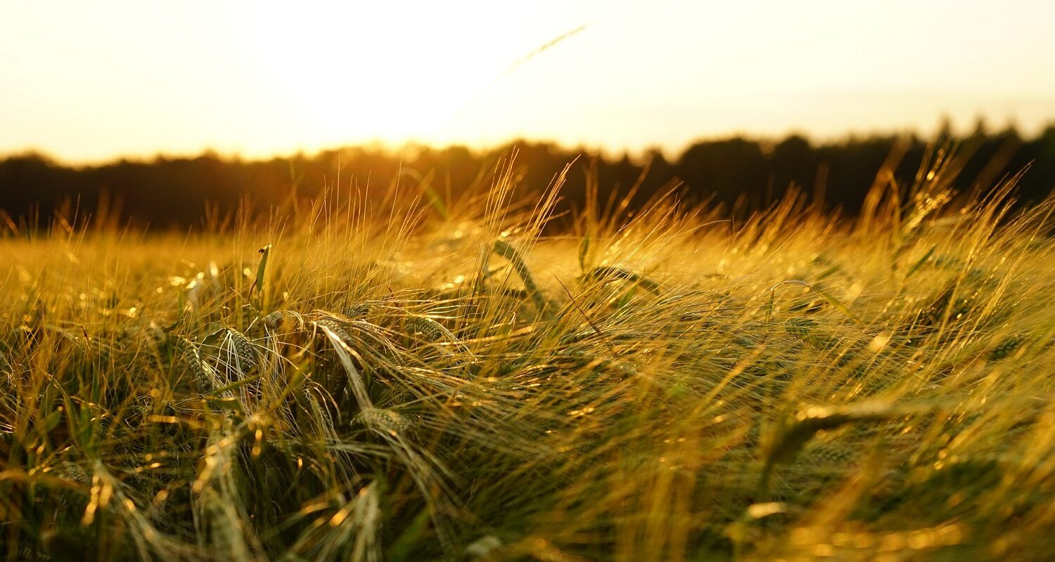 Barley Field at Sunset