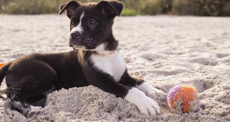 Boxer Dog and his Ball