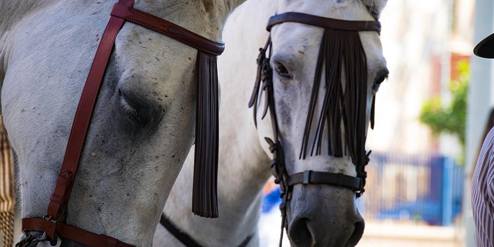 White horses during San miguel feria