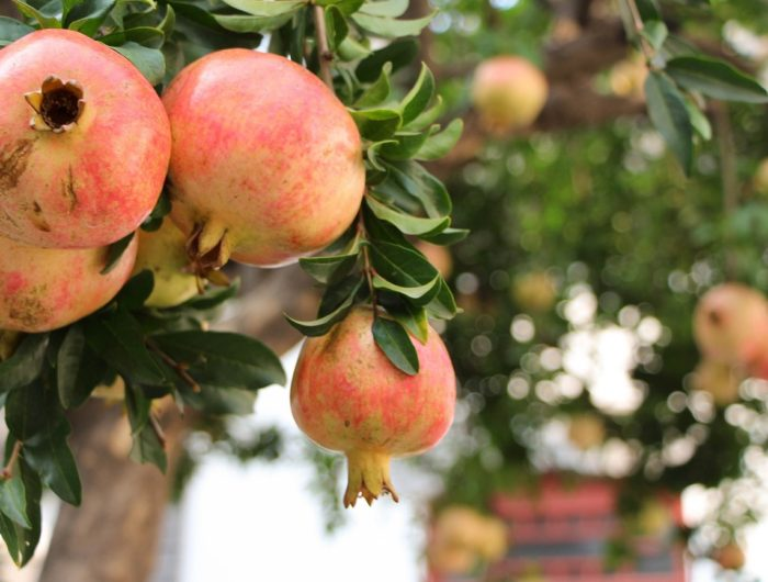 Autumn in Andalucia - Pomegranates