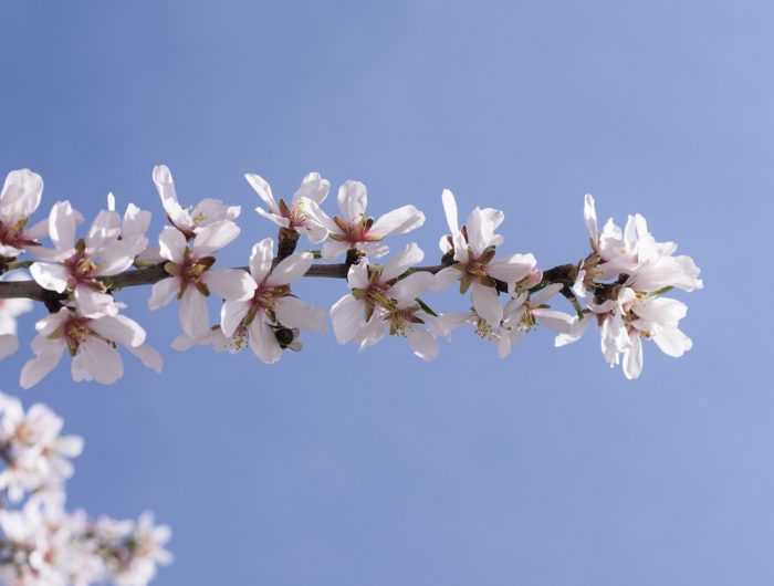 Almond Blossom in the Axarquia